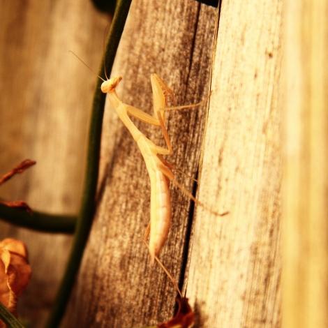 praying mantis6